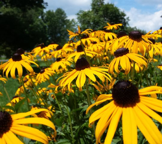 BOONSBORO REFLECTIONS: How the Black-eyed Susan Became the State Flower